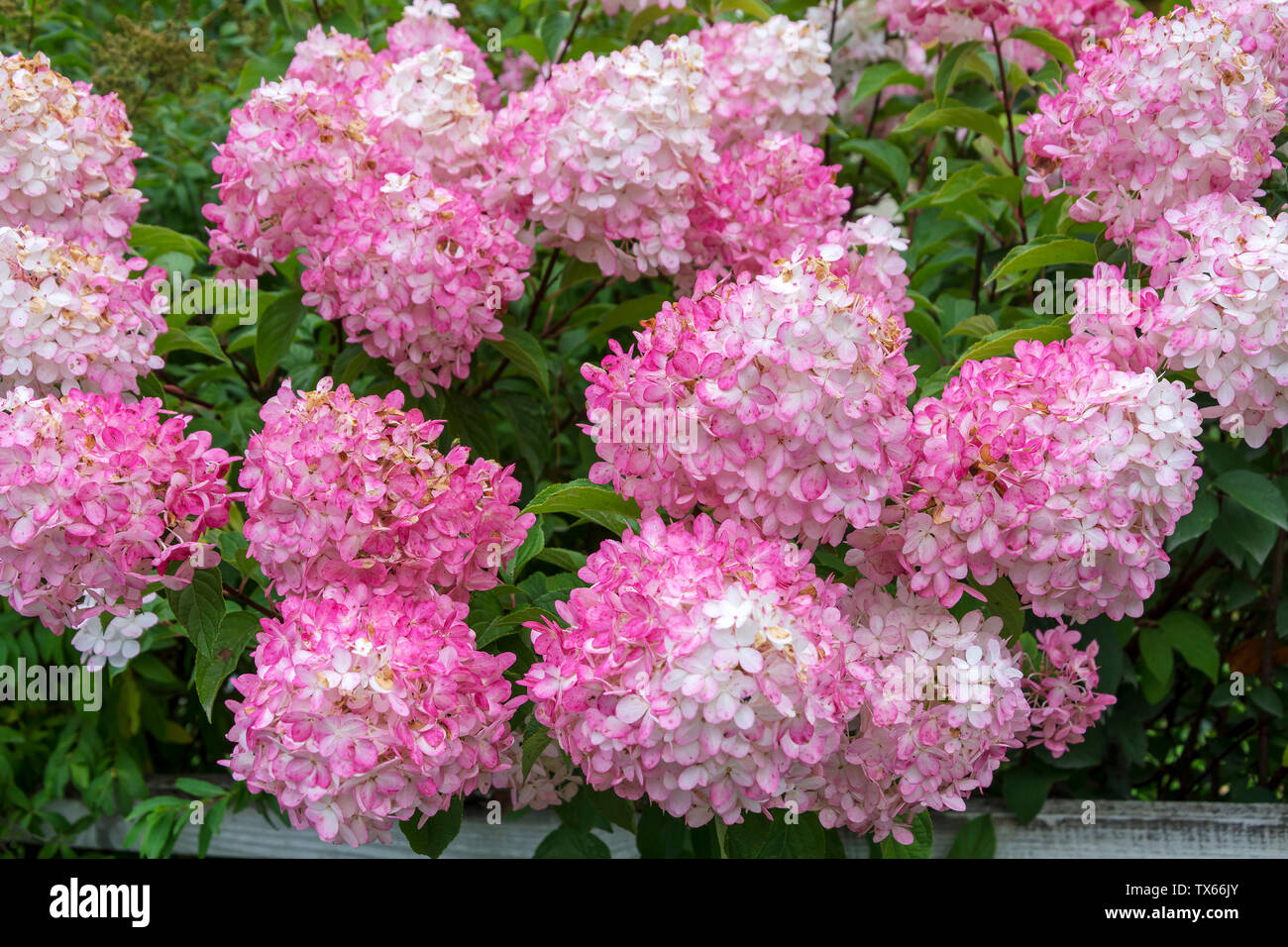 Panicle Hydrangea Hydrangea Paniculata Photos Panicle Hydrangea