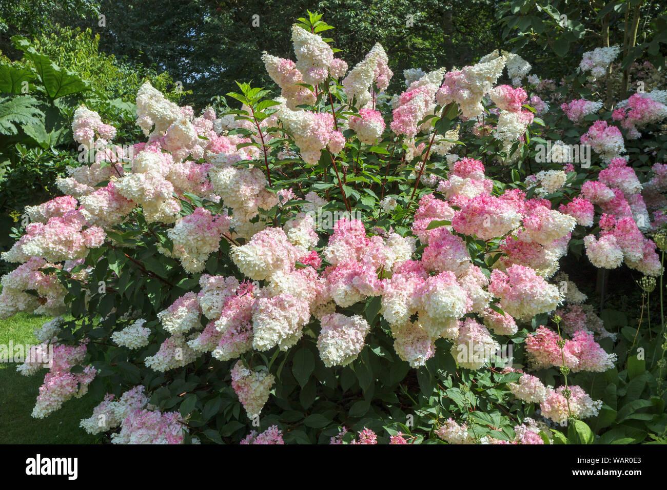 Flowering Pink White Hydrangea Paniculata Photos Flowering Pink