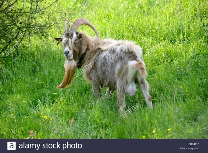 Chèvre de Thuringe Photo Stock - Alamy