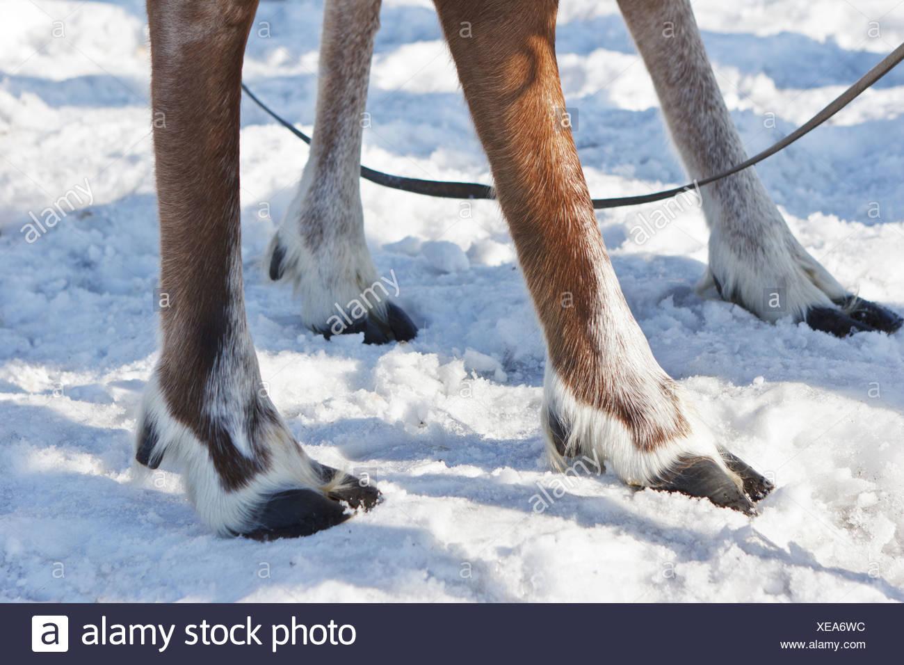 https www alamyimages fr quatre pieds de rennes image284196008 html