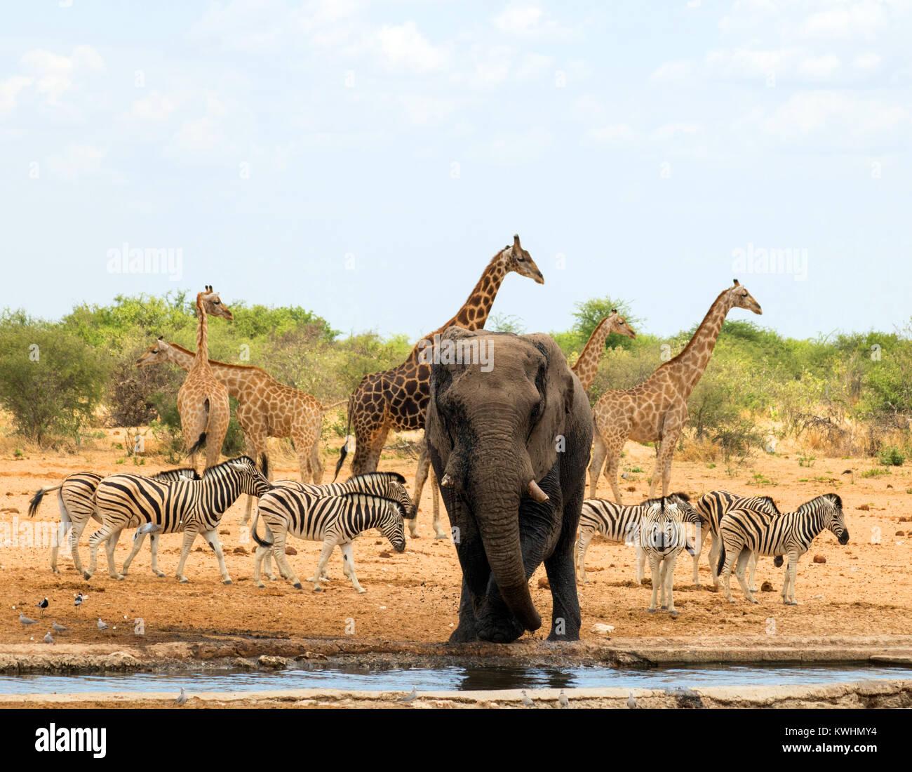 Elefanti Zebre E Giraffe Nel Parco Nazionale Etosha