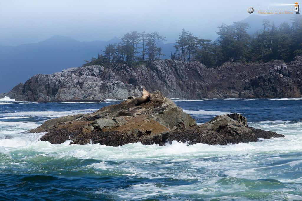 Steller sea lion on the Broken group