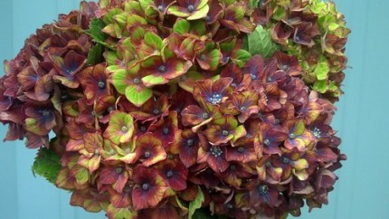 tri colored hydrangeas