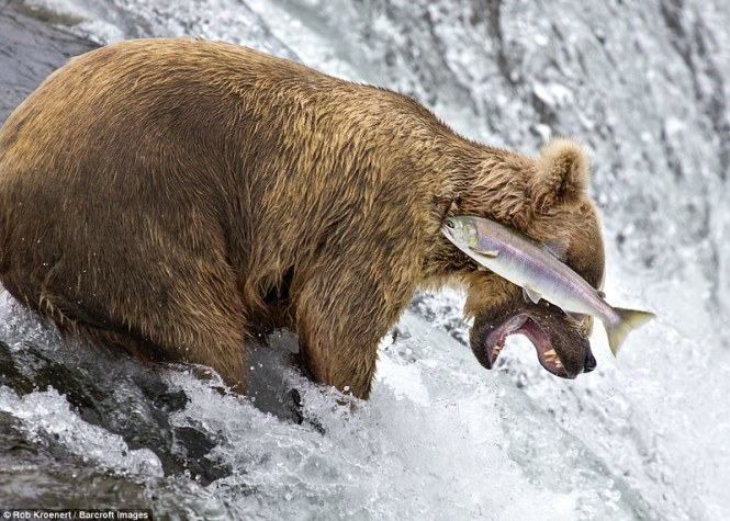 3A3A58F600000578-3929134-This_image_of_a_bear_failing_to_catch_a_salmon_was_captured_by_R-a-111_1478911000010