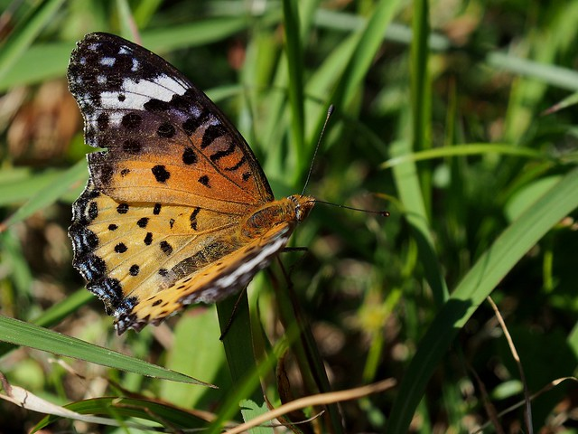 Indian Fritillary butterfly (Argyreus hyperbius, ツマグロヒョウモン)