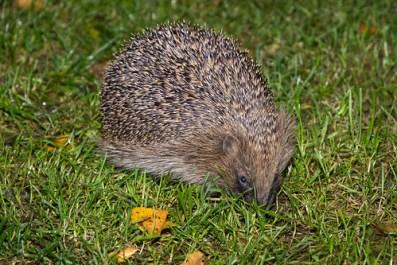 Hedgehog looking for mealworms in garden
