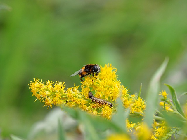 Bee and grub on goldenrod (セイタカアワダチソウ)