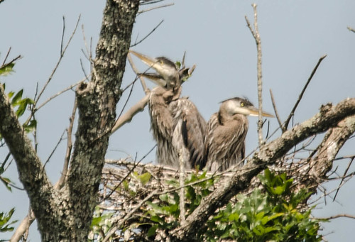 Lake Connestee Heron Rookery-021