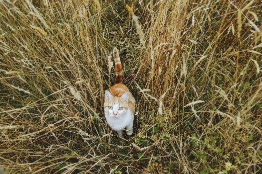 Pumpkin the cat in tall grass