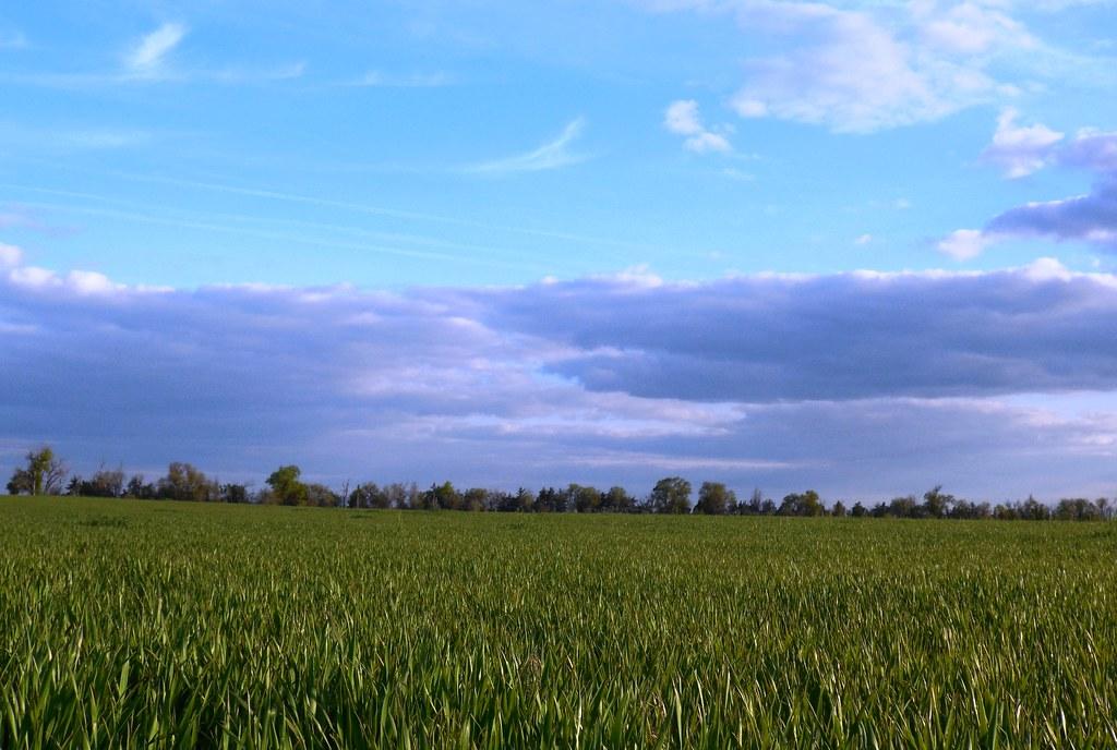Wheat in Hemingford, Neb during May