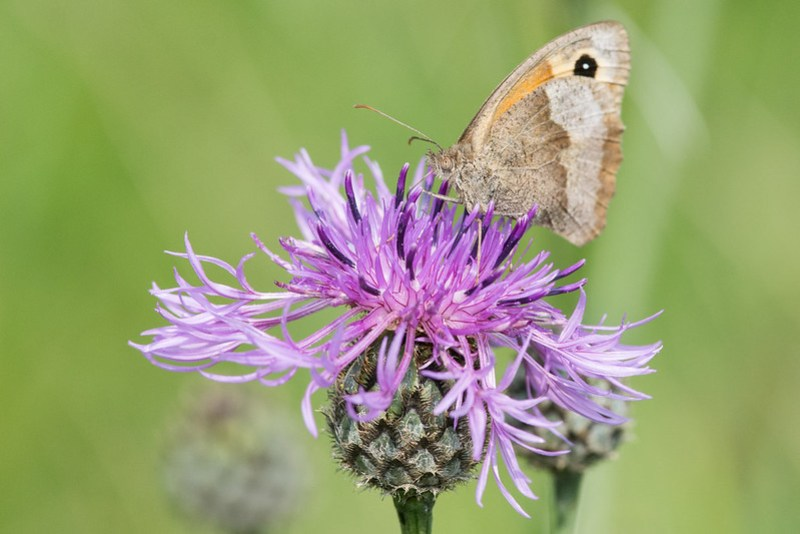 Small Heath again feeding on Greater Knapweed.