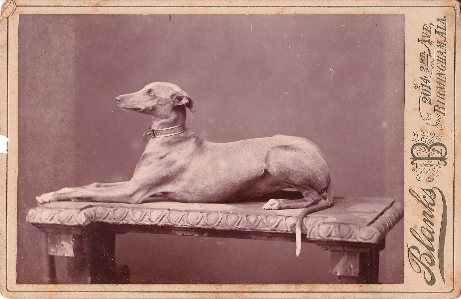 1000 Images About Iggies Italian Greyhounds For Ti Ti