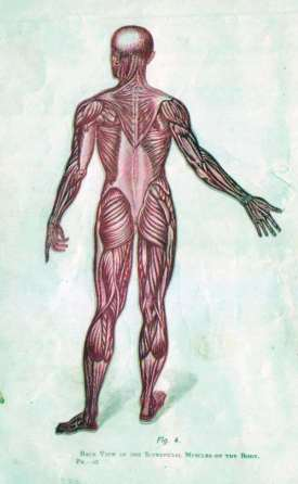 Superficial Muscles of the Body
