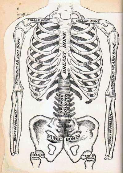 Torso - Skeleton