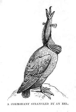 A Cormorant Strangled by an Eel