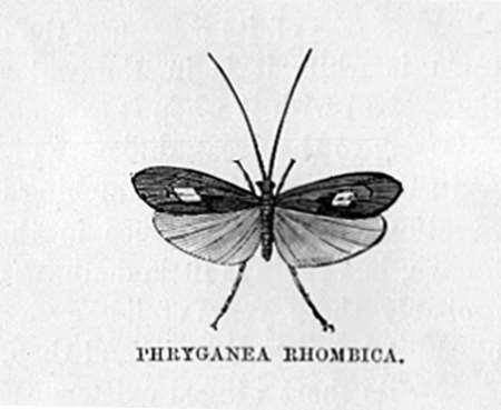 Phryganea Rhombica (Spring Fly)
