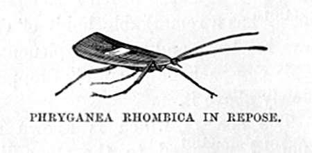 Phrygnea Rhombica in Repose