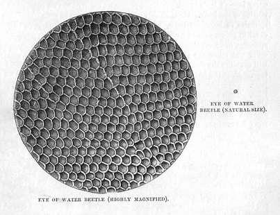 Eye of Water Beetle