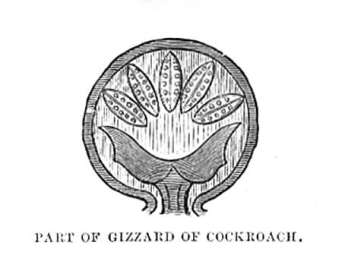 Part of Gizzard of Cockroach