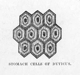 Stomach cells of Dyticus (beetle)