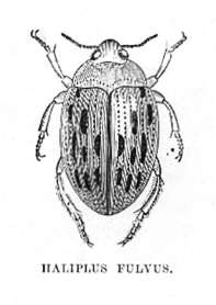 Haliplus Fulvus (Crawling Water Beetle)