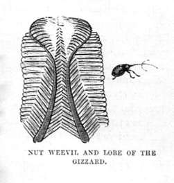 Nut Weevil and Lobe of the Gizzard