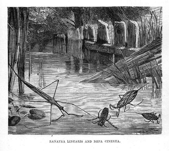 Ranatara Linearis (Water Stick) and Nepa Cinerea (Water Scorpion)