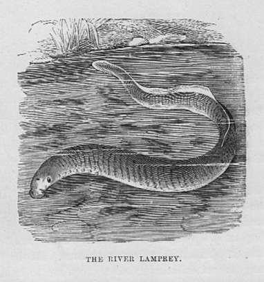 The River Lamprey