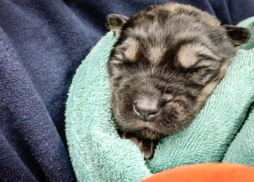 Nine-day old puppy at Yellowknife SPCA