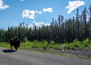 A lone bison attempts to beat the heat on NWT Highway 3 on Monday, June 18