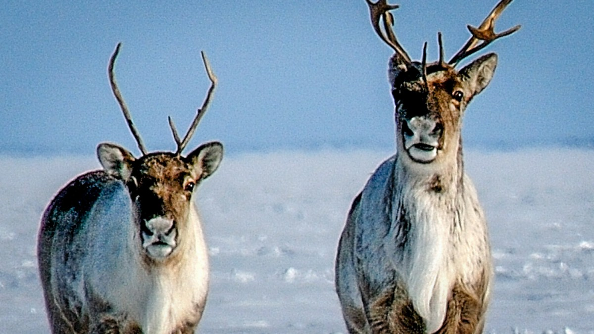 NWT lists barren-ground caribou as threatened species
