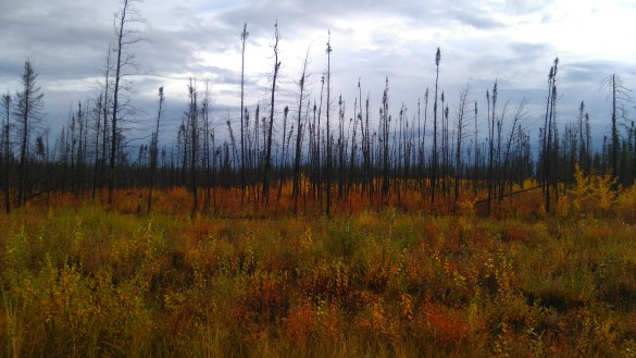 Forest fire regrowth in the South Slave. Sarah Pruys/Cabin Radio