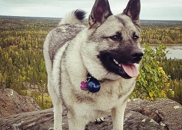 Meyla the Norwegian Elkhound, pictured on a 'missing' poster in late August, 2018