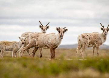 A file photo of barren-ground caribou - Alexandre Paiement-WWF-Canada
