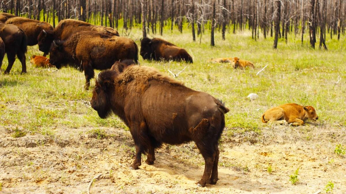 Will this plan save Wood Buffalo's World Heritage status?