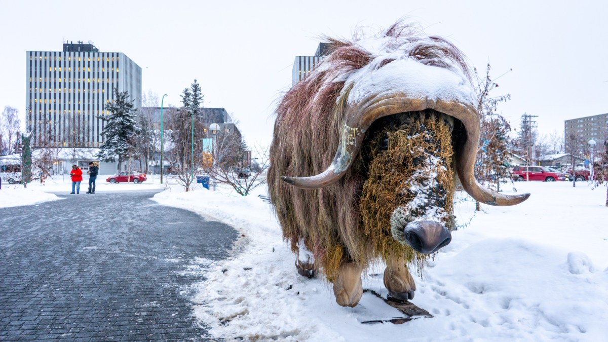Muskox turns up at Yellowknife City Hall, appears content