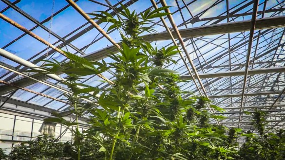 A cannabis production facility unrelated to one being proposed in Yellowknife is seen in a still from a video produced by Dinafem Seeds