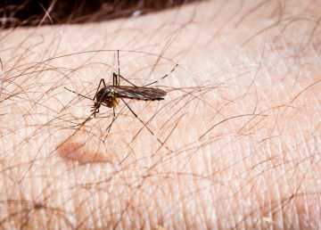A mosquito at work during a Northwest Territories summer - Jim Stauffer-Wikimedia