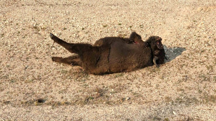 A dead bison by the side of an NWT highway