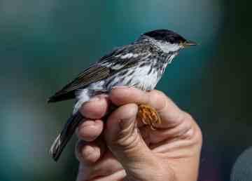 A blackpoll warbler