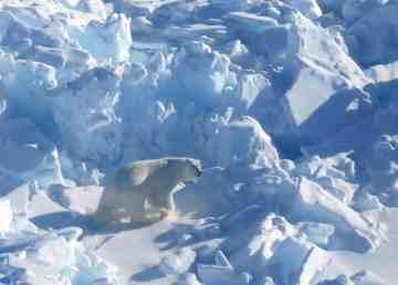 A polar bear in the Inuvialuit Settlement Region