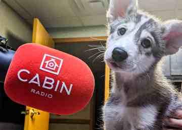 Kodiak, an eight-week-old husky cross, in Cabin Radio's Studio Three on November 12, 2019