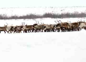 The Inuvik reindeer herd
