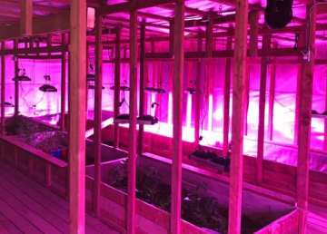 Grow lights provide a pink hue inside a greenhouse that used to be Fort Providence's curling rink