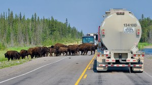 Bison block Highway 3 north of Fort Providence on August 2, 2020