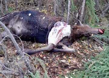 A dead female moose is pictured in an image posted online by the Department of Environment and Natural Resources' Dehcho office in September 2020