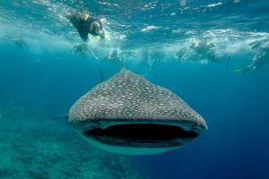 swim with the whale sharks in la paz mexico