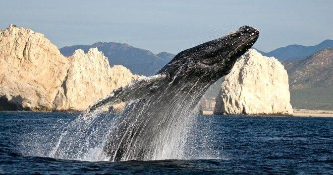 Breaching Whale as seen from Whale Watching tour in high speed Zodiac in Cabo San Lucas