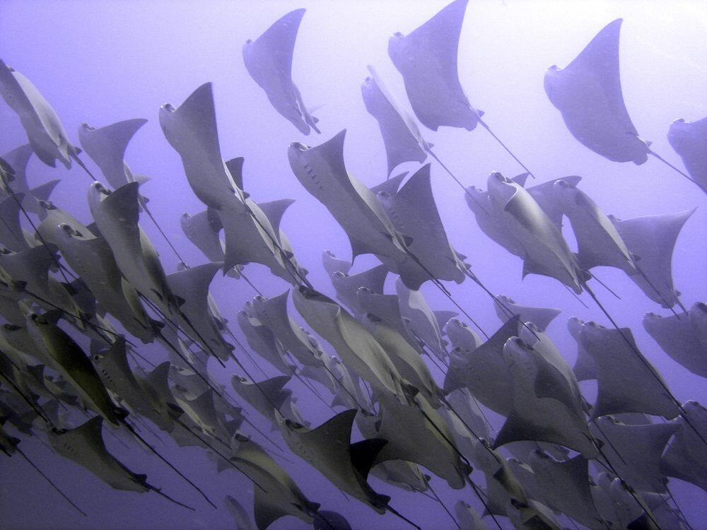 Golden Cow Nose Rays
