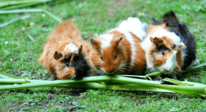 can guinea pigs eat celery leaves